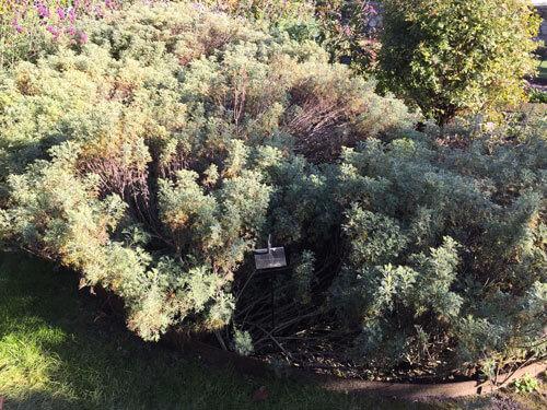 Artemisia abrotanum au château du Rivau