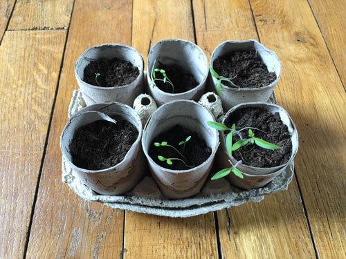 Planter des graines dans des boîtes à œufs et des rouleaux de papier toilette
